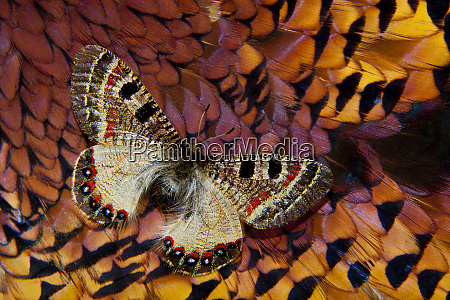 apollo butterfly on ring necked pheasant