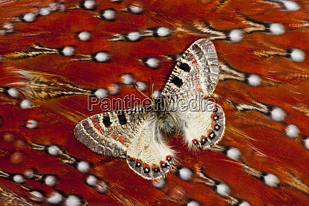 apollo butterfly on tragopan body feather