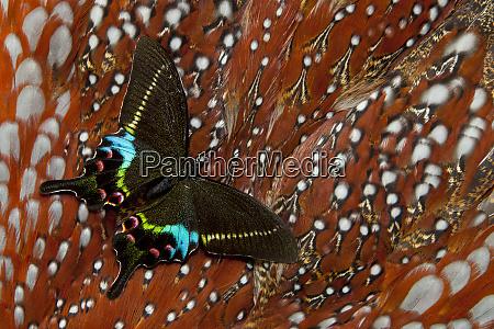 swallowtail butterfly papilio krishna on tragopan