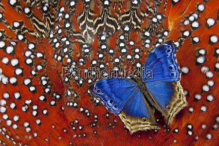 blue salamis butterfly on tragopan body