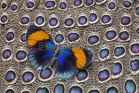butterfly on grey peacock pheasant feather