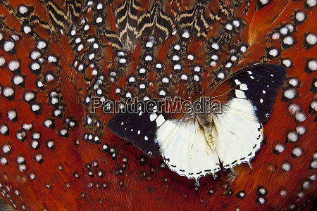 charaxes butterfly on tragopan body feather