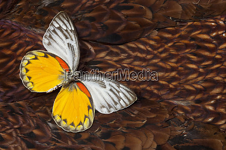 delias butterfly on cooper pheasant feather