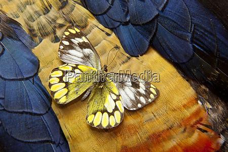 underside of delias butterfly on lady