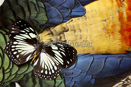 forest queen butterfly on lady amherst