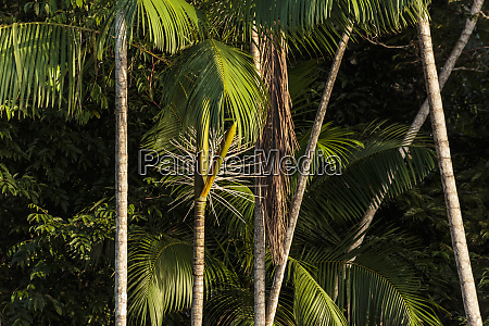 suedamerika brasilien amazonas nahaufnahme der acai