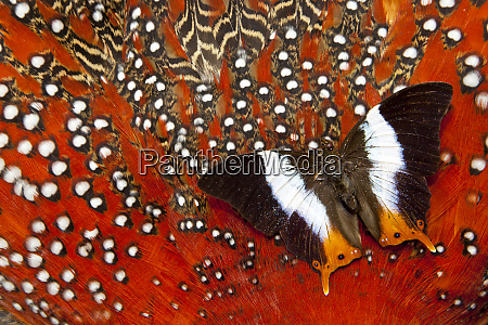 butterfly on tragopan body feather design