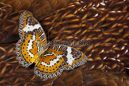 lacewing butterfly on cooper pheasant feather