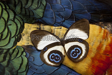 taenaris bioculatus butterfly on lady amherst