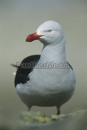 dolphin gull larus scoresbii adult saunders
