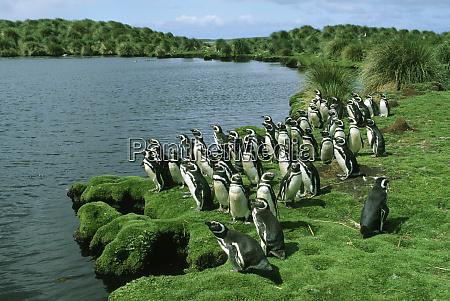 magellanic penguins spheniscus magellanicus sea lion