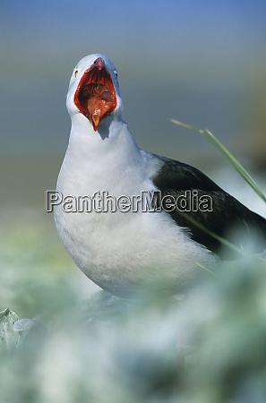 dolphin gull larus scoresbii yawning sea