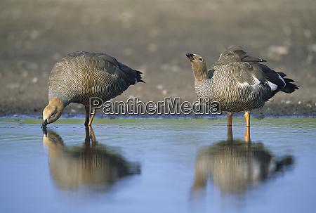 ruddy headed goose chloephaga rubidiceps drinking