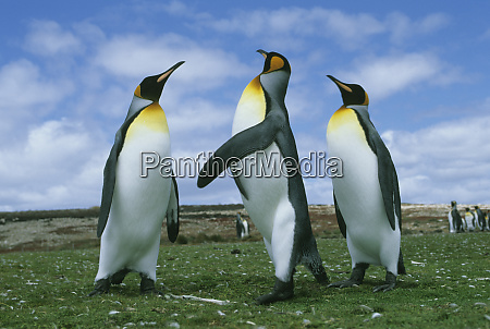 king penguins aptenodytes patagonicus volunteer point