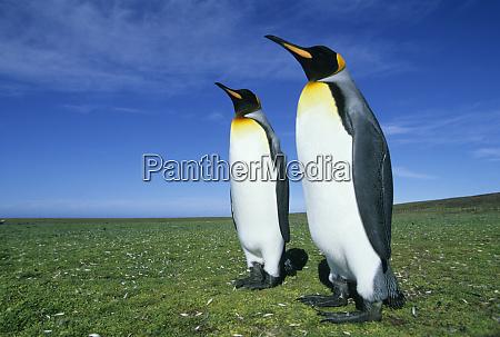 king penguins aptenodytes patagonicus volunteer point