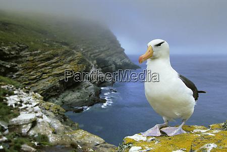 schwarzbrauner albatross diomedea melanophris west point