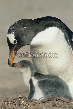 gentoo penguin pygoscelis papua adult feeding