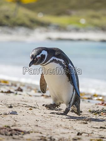magellanic penguin spheniscus magellanicus at beach