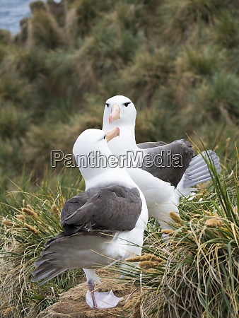 black browed albatross or black browed