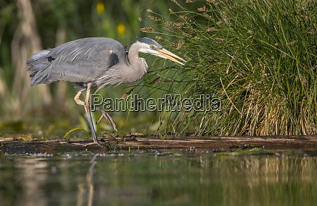 usa washington state great blue heron