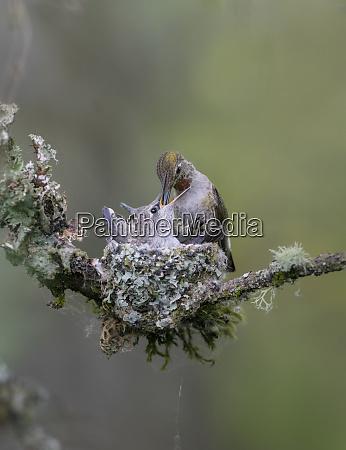 usa washington state annas hummingbird calypte