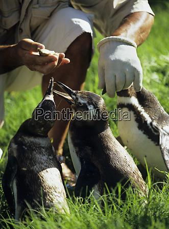 south america uruguay piriapolis banded penguins