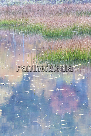 usa maine grasses and lily pads