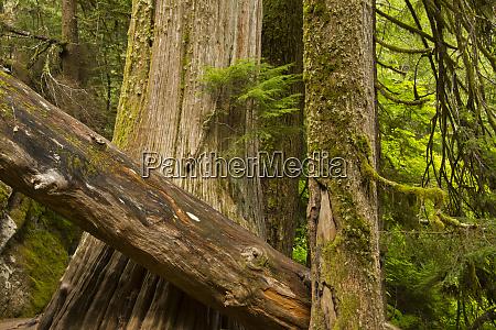 western hemlock and cedar grove of