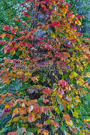 virginia creeper in autumn in defiance