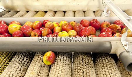 usa washington yakima washington apples ready