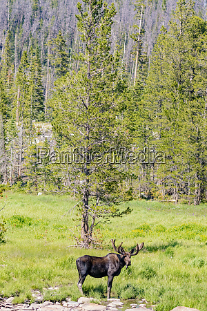 usa colorado cameron pass bull moose