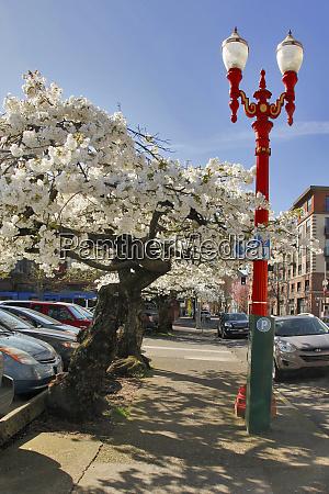 usa oregon portland flowering cherry trees