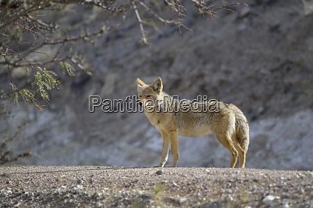 usa kalifornien death valley lone coyote