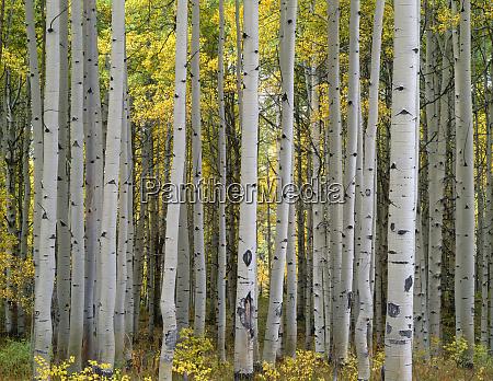 usa colorado gunnison national forest mature