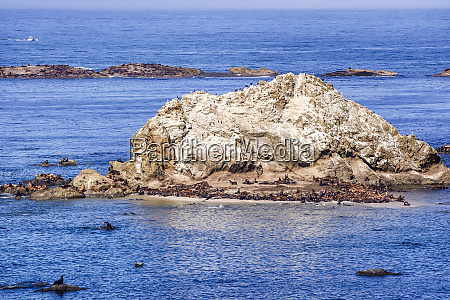 seals and sea lions gather at
