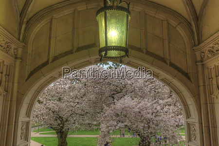 cherry blossoms in full bloom at