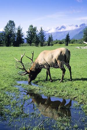 elk, bull, standing, in, a, pristine - 27801834
