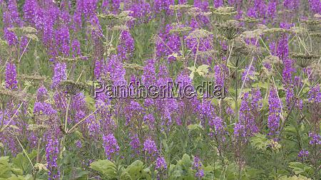 usa alaska valdez field of fireweed