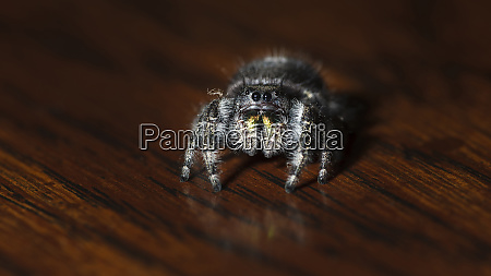 usa oregon keizer bold jumping spider