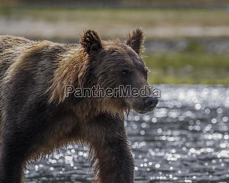 usa alaska katmai national park close