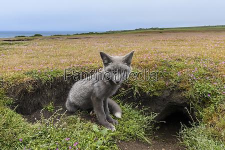 usa washington state red fox kit
