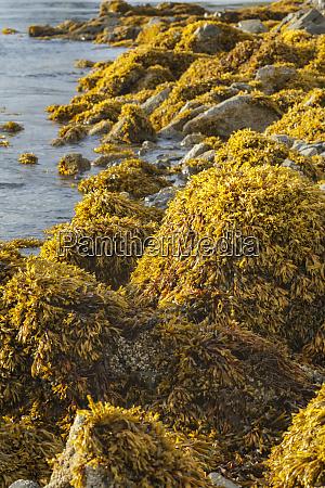 usa alaska kelp covers rocks along