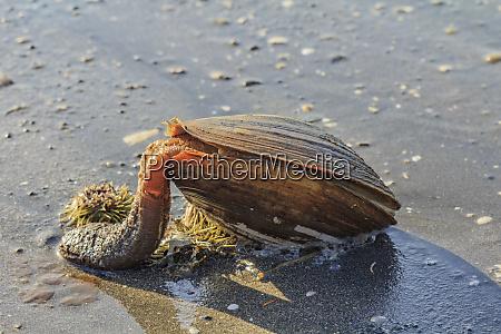 usa alaska a large clam with