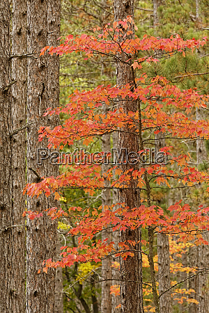 maple trees in fall colors hiawatha