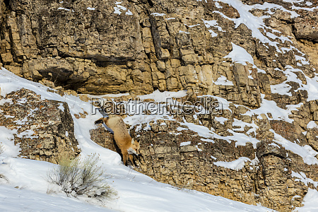 red fox in winter in yellowstone