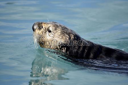 usa alaska seward sea otters in