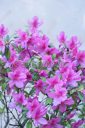 usa georgien savannah rosa azalea