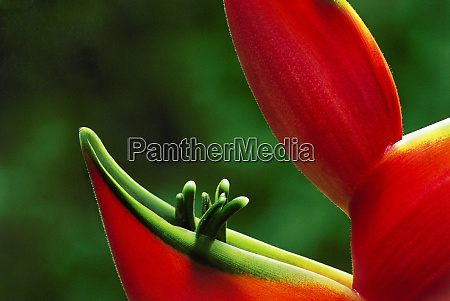 usa hawaii hilo heliconia close up