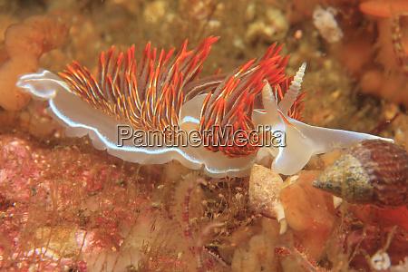opalescent nudibranch hermissenda crassicornis saint lazerius
