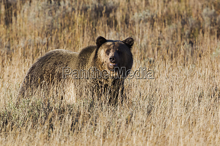 herbst grizzly baer